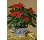 Poinsettia in Chinese Blue and White Container